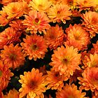 Mini Chrysanthemums by Simon Duckworth