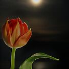 The Tulip by Bine