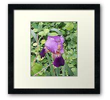 Purple and Yellow Iris Framed Print