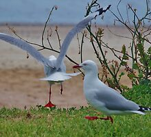 Dancing The Turkey Trot (Seagull Version) by lezvee