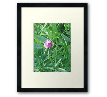 Purple Sweet Pea Framed Print