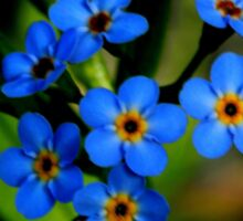 Forget-Me-Nots, Manfield Scar,River Tees, England Sticker
