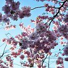 Sakura by Herbert Shin