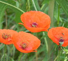 More Surprise Poppies by Navigator