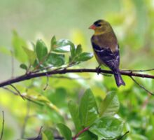 Drenched Goldfinches Sticker