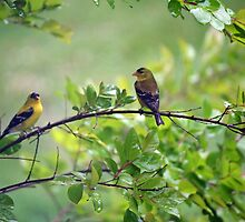 Drenched Goldfinches by WalnutHill