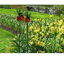 Crown Imperials - Keukenhof Gardens Photographic Print