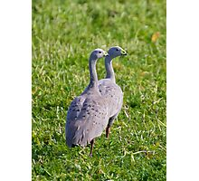 WATERFOWL ~ Cape Barren Goose by David Irwin Photographic Print