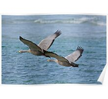 WATERFOWL ~ Cape Barren Goose by David Irwin Poster