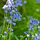 Bluebells by Stephen Knowles