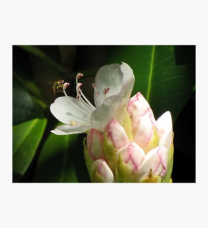 Rhododendron Pollination Photographic Print