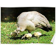 Looking for Australia (White Peafowl) Poster