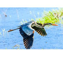 Great Blue Heron at Myakka State Park Photographic Print