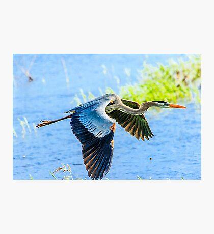 Great Blue Heron at Myakka State Park Photographic Print