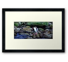 Yellow - eyed Penguin    New Zealand Framed Print