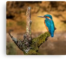 Kingfisher on branch Canvas Print