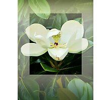 Magnolia Flower Photographic Print