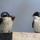 Tree Swallows  #2  by Kane Slater
