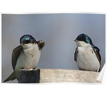 Tree Swallows  #2  Poster