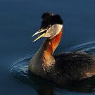 Red-necked Grebe #2  by Kane Slater