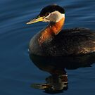 Red-necked Grebe #3  by Kane Slater