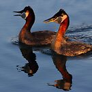 Red-necked Grebes by Kane Slater