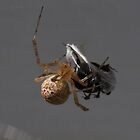 American House Spider by Otto Danby II