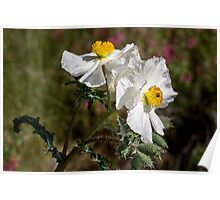 Pair of prickly poppies Poster
