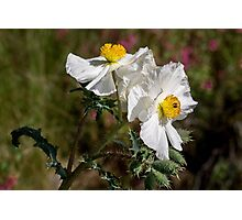 Pair of prickly poppies Photographic Print