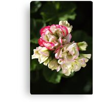 Geranium Soft White and Pink Canvas Print