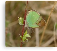 Green Hairstreak Canvas Print