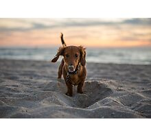 Alfie the Dachshund  Photographic Print