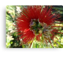 Red bottle brush flower close up Canvas Print
