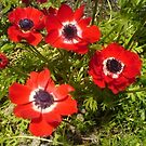 Popping Poppies by wannabewriter81