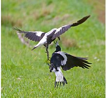 Australian Magpie (White-backed) by David Irwin Photographic Print