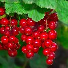 red currants by Stephen Frost