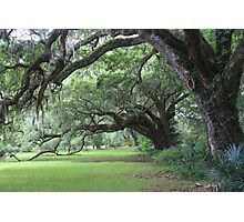 Enchanted Live Oak Row Photographic Print