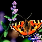 small tortoiseshell butterfly by Stephen Frost