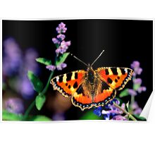 small tortoiseshell butterfly Poster