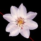 White Clematis Flower on Black by Stephen Frost