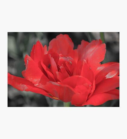 Ethereal Tulip Photographic Print