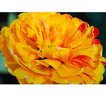 Sun Lover Tulip Photographic Print