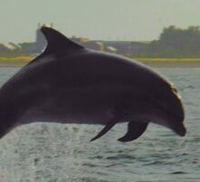 Dolphin from shore Sticker