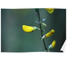 Flowers of a German Greenweed bush Poster