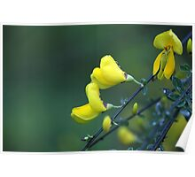 Flowers of a German Greenweed bush, Genista germanica Poster