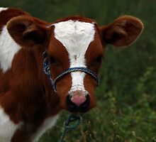 Brown and White Calf by rhamm