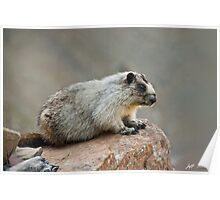Hoary Marmot on a Boulder Poster