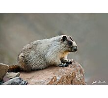 Hoary Marmot on a Boulder Photographic Print