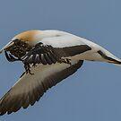 Gannets 1 by Werner Padarin