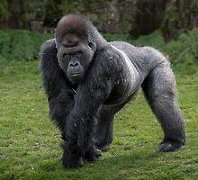 Gorilla by alan tunnicliffe
